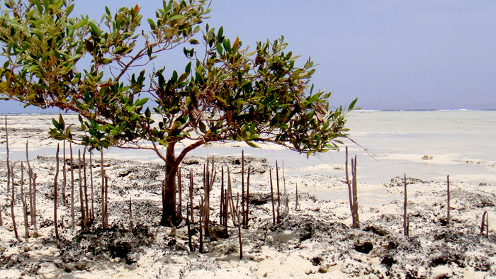 Mangroves in Nabq11