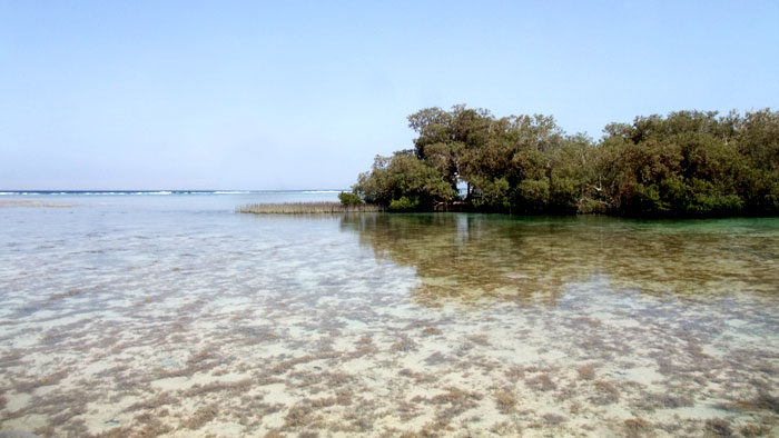 Mangroves in Nabq21