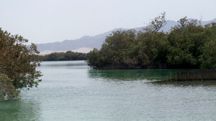 Mangroves in Nabq23