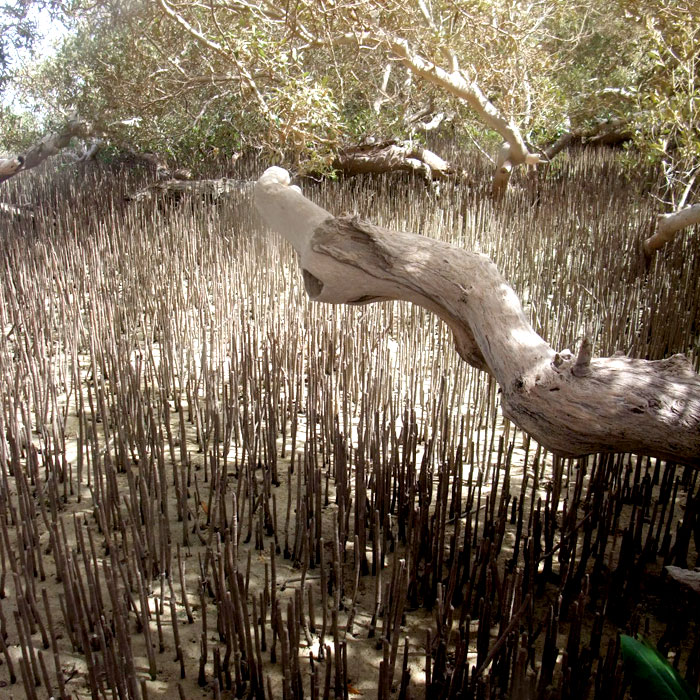 Mangroves in Nabq28