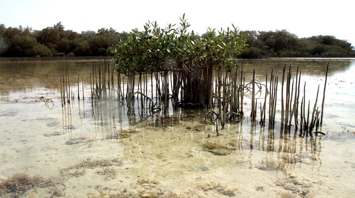 Mangroves in Nabq31