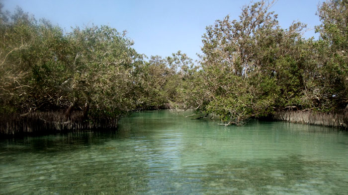 Mangroves in Nabq34