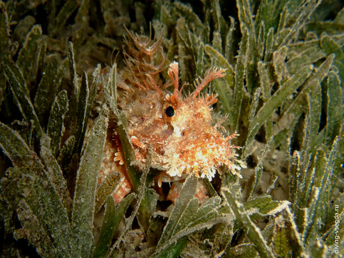bearded-scorpionfish